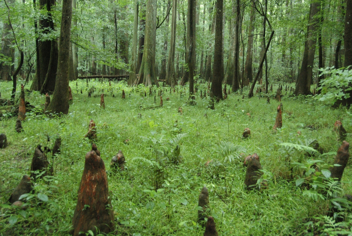 Tree stumps in swamp habitat at Congaree National Park