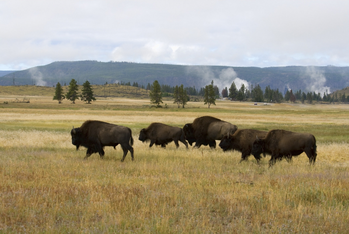 A group of bison on the yellow grasslands of Yellowstone National Park