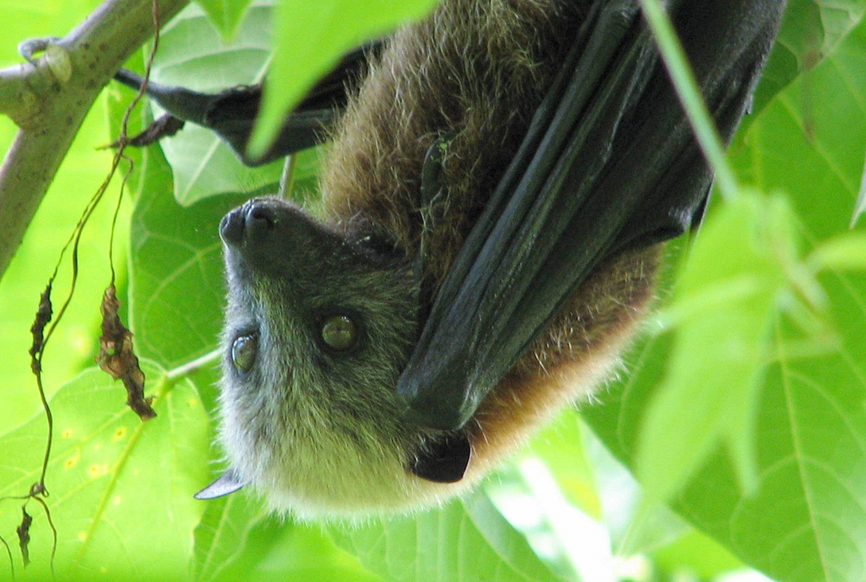 Close-up of a Samoan Fruit Bat amongst green leaves at the National Park of American Samoa