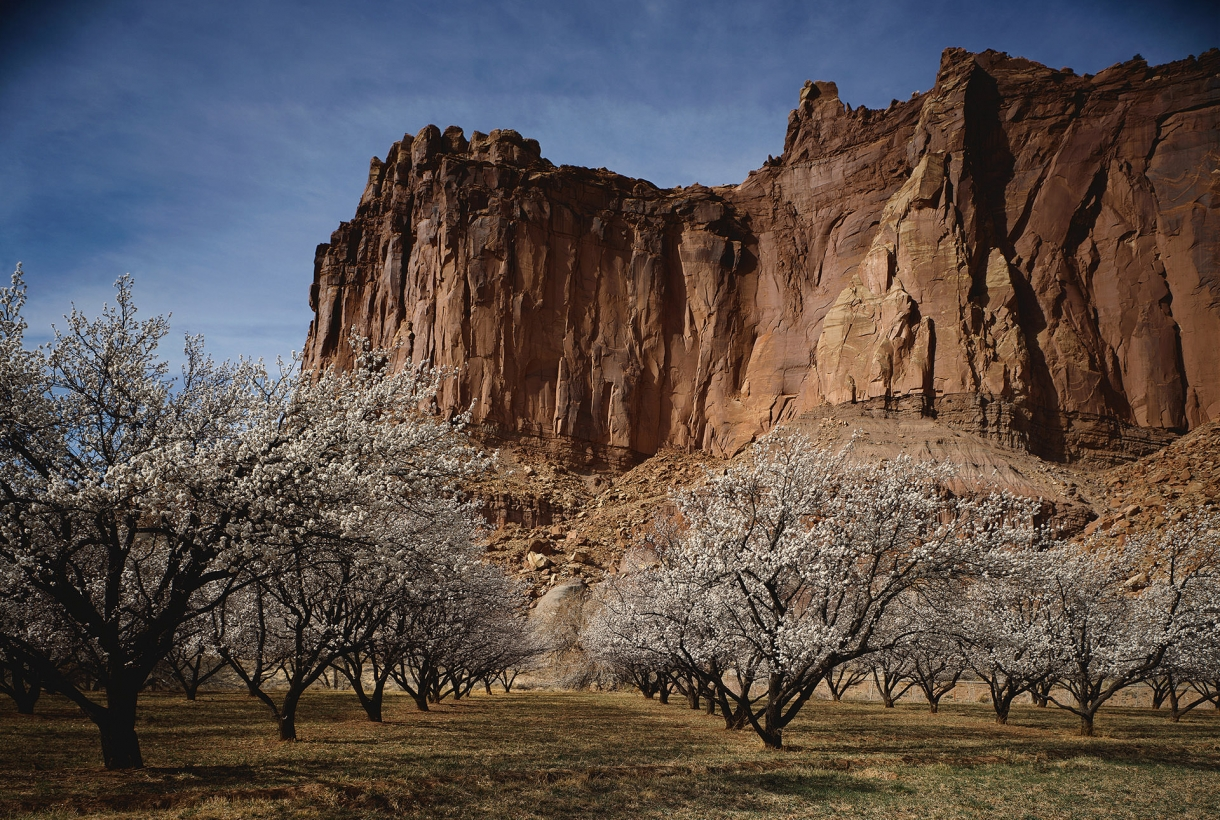 Grove of cherry trees in Capital Reef National Park