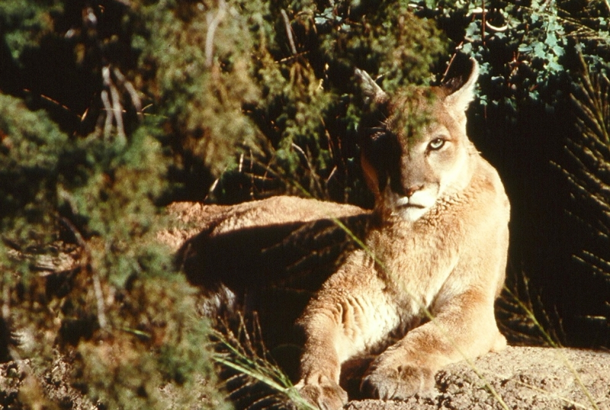 Mountain lion lounging on a rock