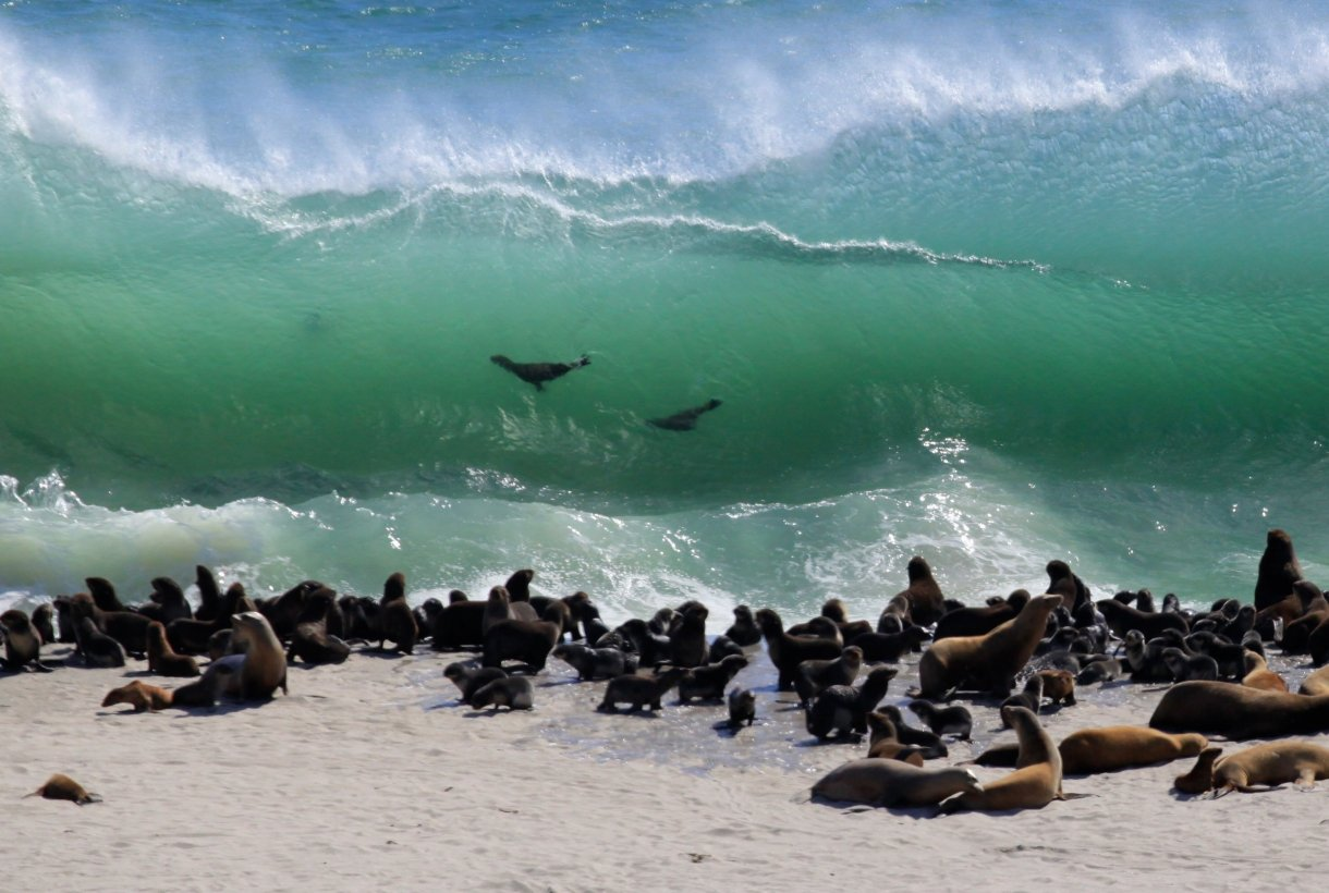 Sea lions gather at Point Bennett as they take turns surfing the waves along San Miguel Island at Channel Islands National Park.