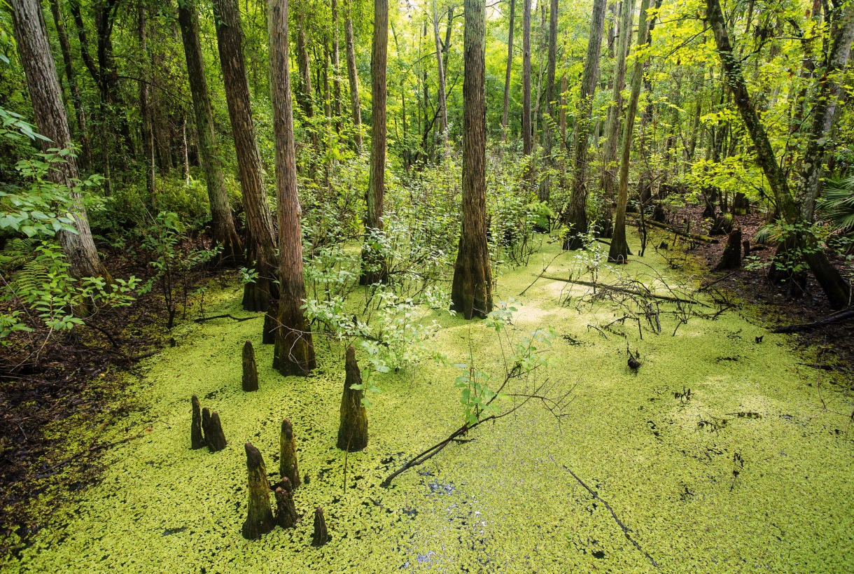 Green cypress grove at Everglades National Park