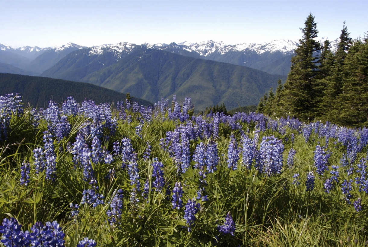 Image of Olympic National Park with flowered mountain