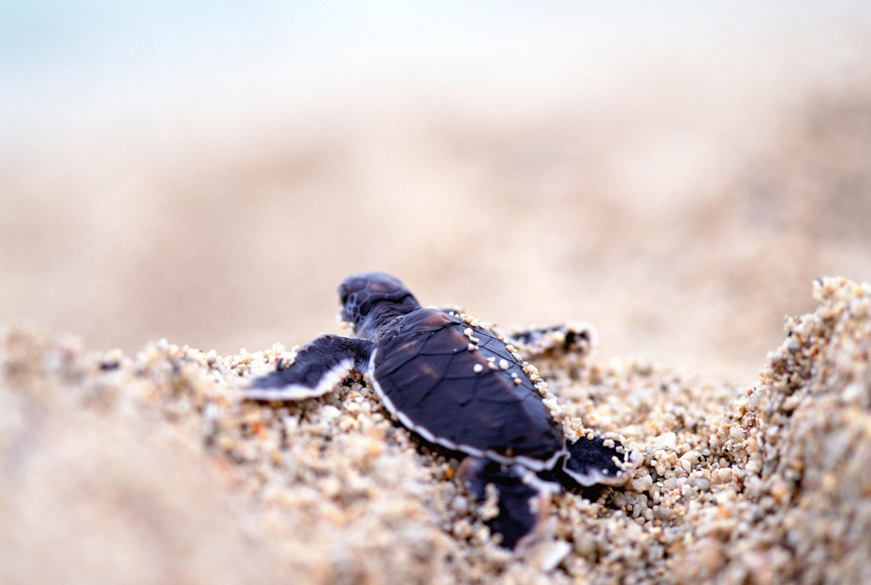 Padre Island National Seashore with baby turtle on sand