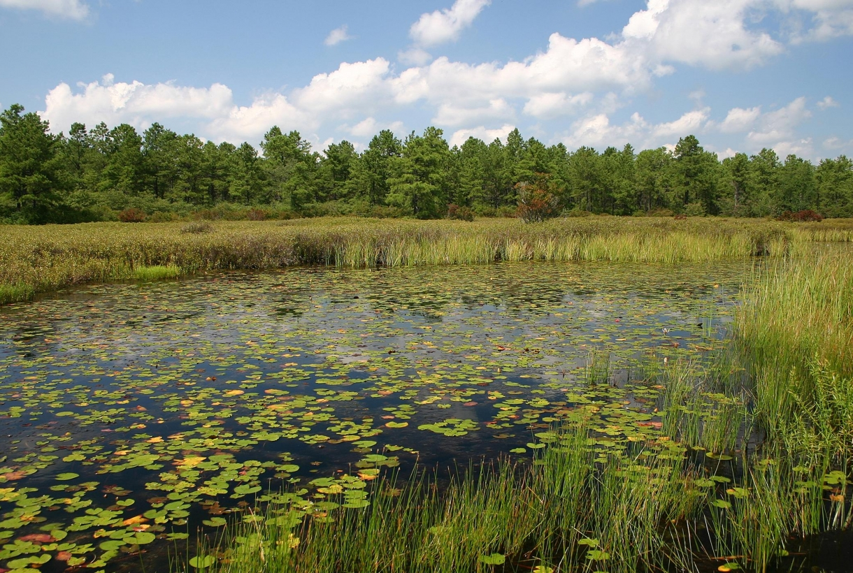Lake with lily pads and reeds growing at Pinelands National Preserve in New Jersey