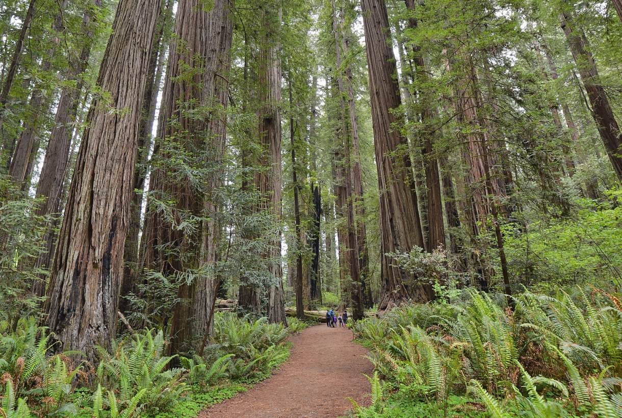 Stout Grove in Redwood National and State Parks
