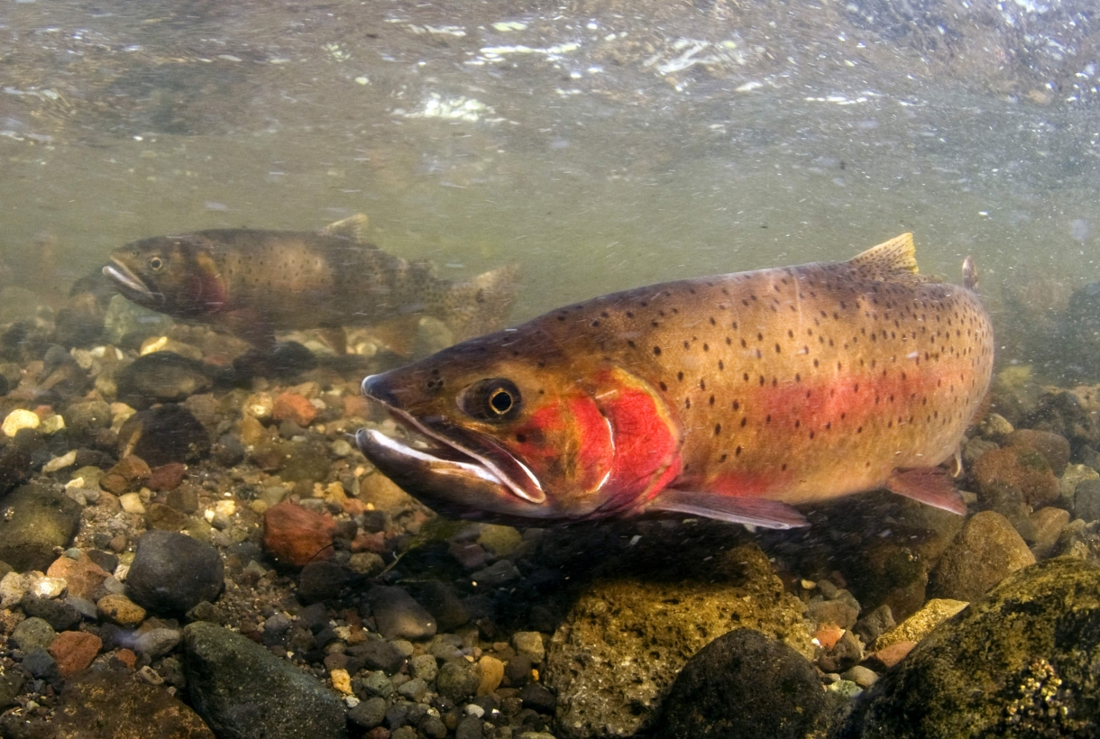 Invasive Cutthroat Trout swimming in Yellowstone National Park