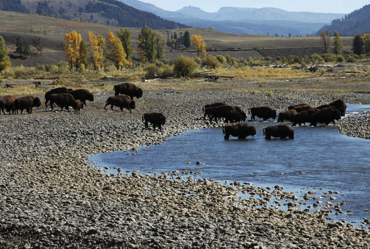 Bison at a Yellowstone watering hole