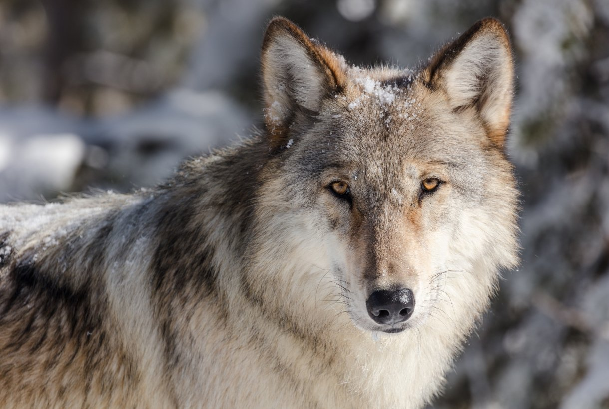 Close up of the face of a grey wolf.