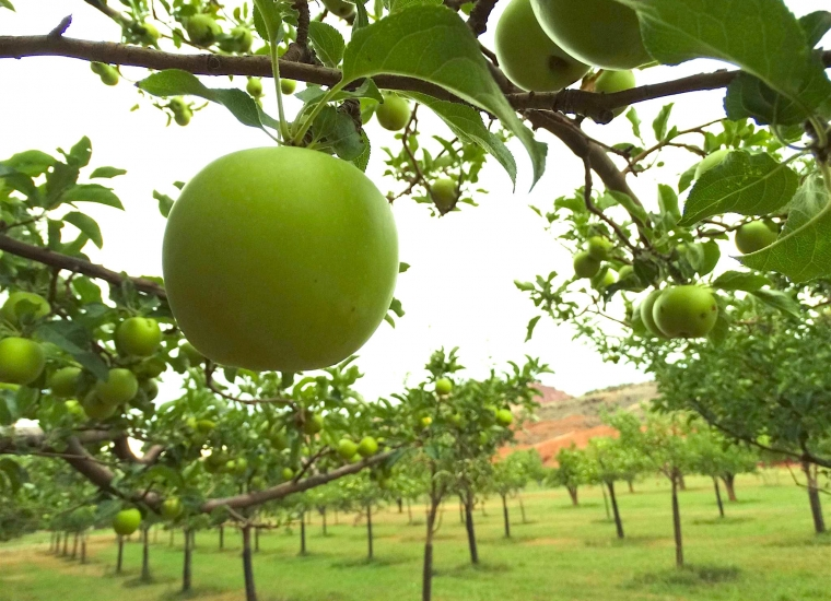 Green apples on in an orchard at Capitol Reef National Park