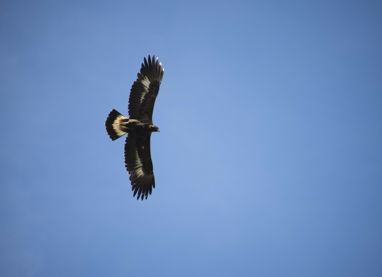 A golden eagle in flight in a clear blue sky in Denali National Park and Preserve