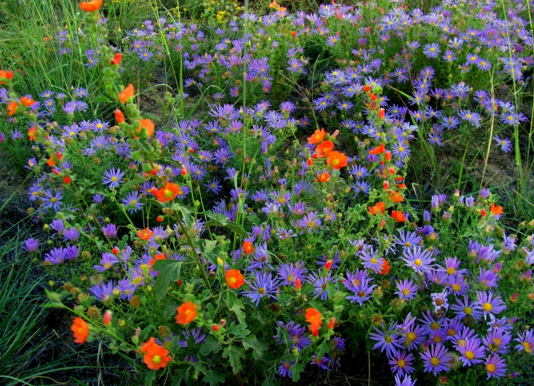Abundant purple and orange wildflowers carpet El Malpais during the summer rainy season