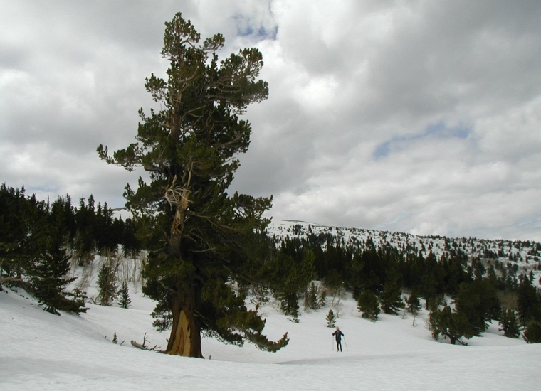 A person crosscountry skiing in the backcountry next to a giant tree at Great Basin National Park