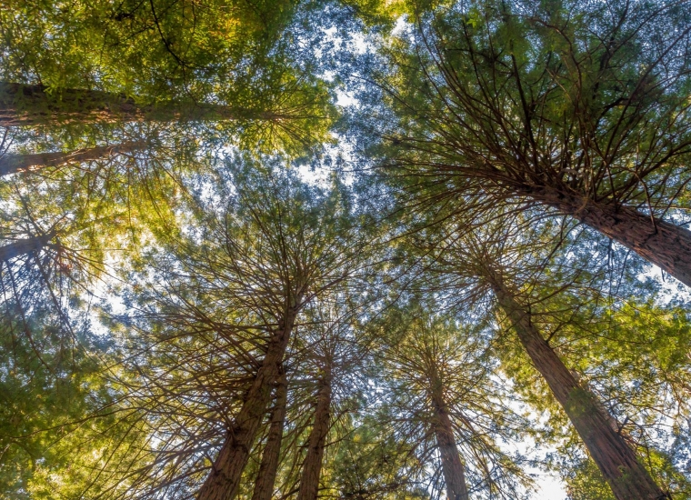 Looking up at the tree tops of the redwoods at Muir Woods National Monument