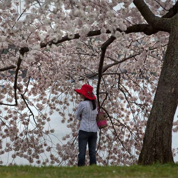 A woman stands beneath a blossoming cherry tree