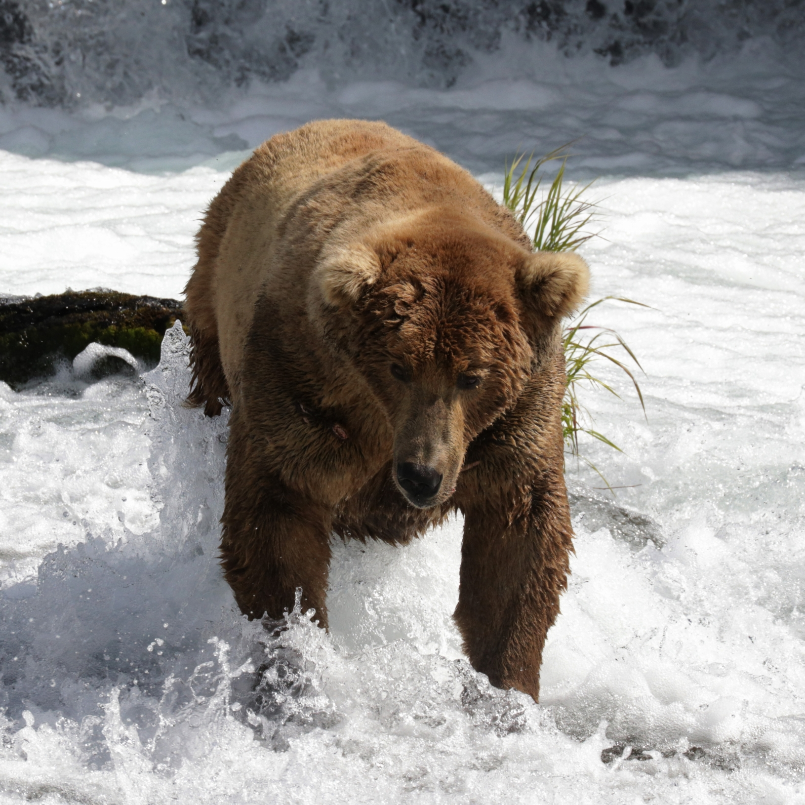 Brooks Falls Bears, Katmai National Park