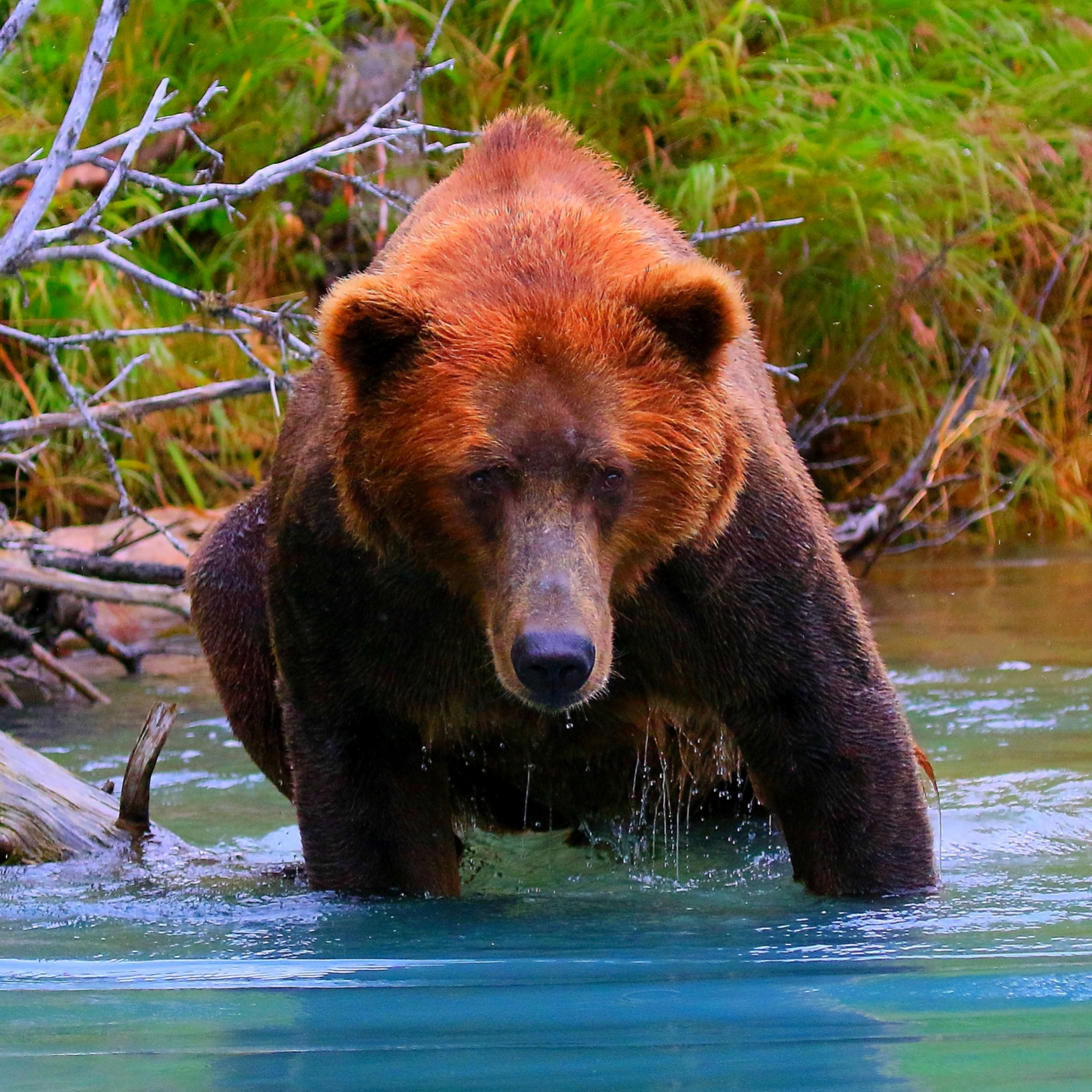 wildlife water wild portrait adventure animal places trees animals green nature grizzly lakeclarknationalaprk lake water remote alaska