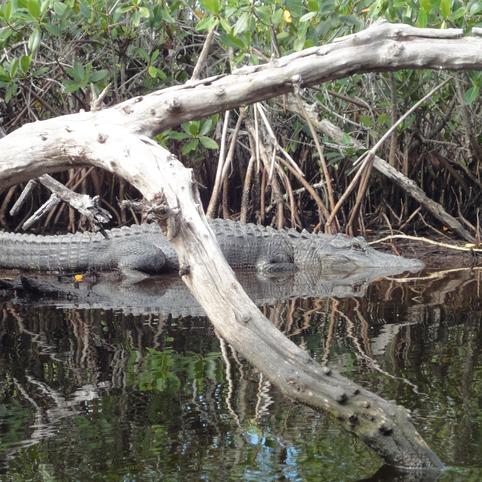 American Alligator, Everglades National Park