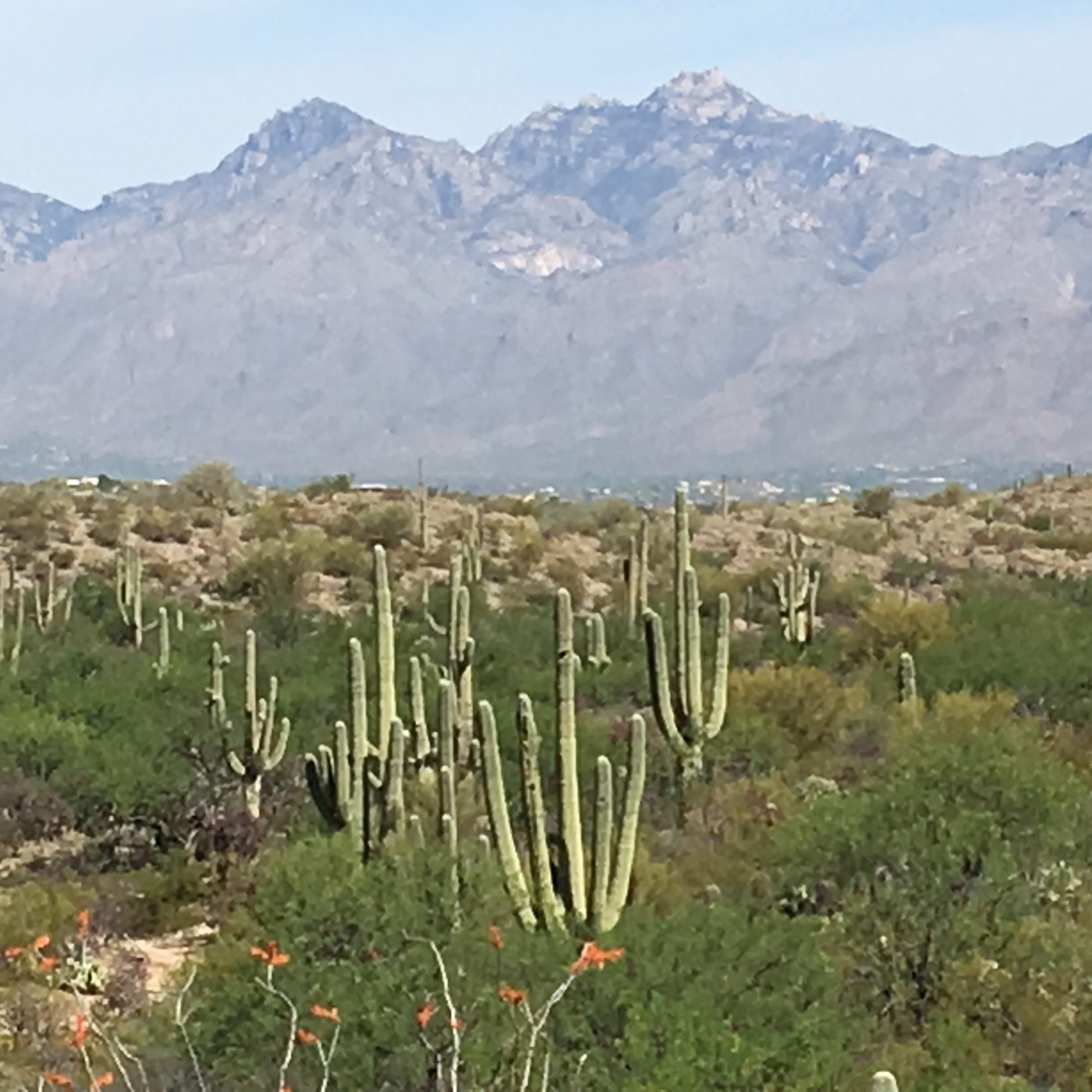 Image of Saguaros near Tucson
