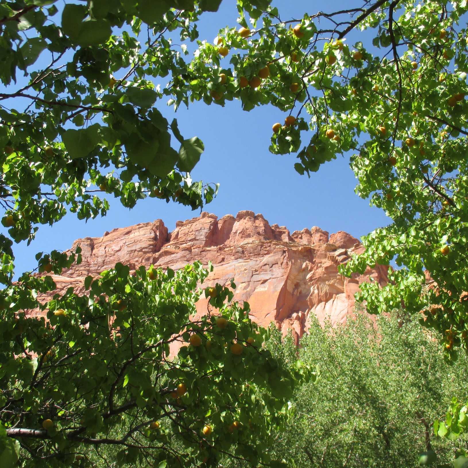 Boughs full of sun-ripened juicy apricots in the orchards at Capitol Reef National Park.