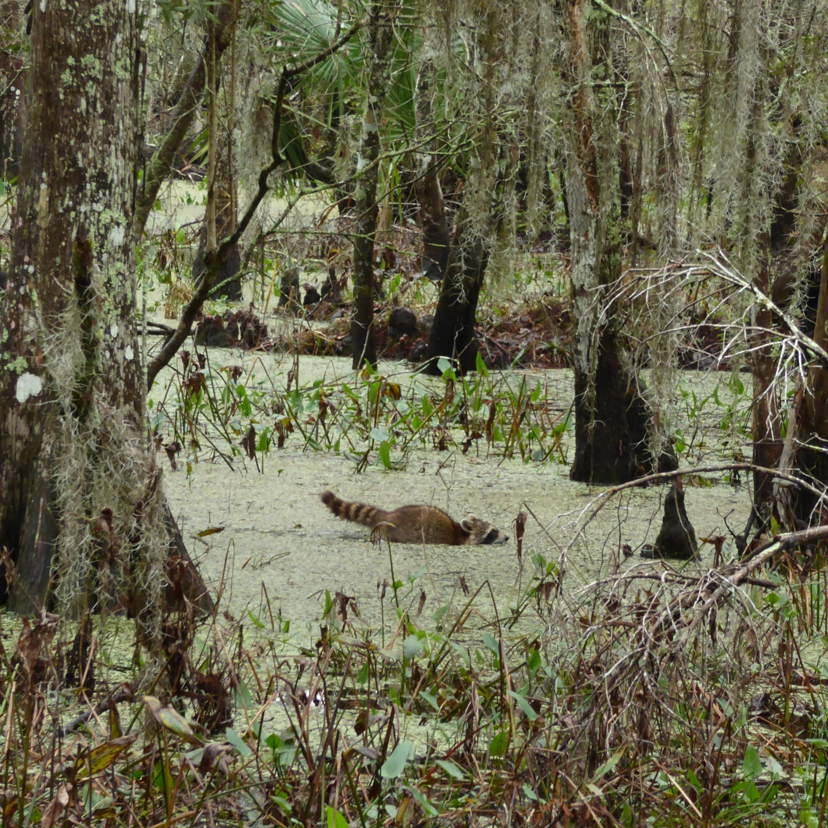 racoon walking through a swamp at the Barataria Preserve. Part of the Jean Lafitte National Historal Park