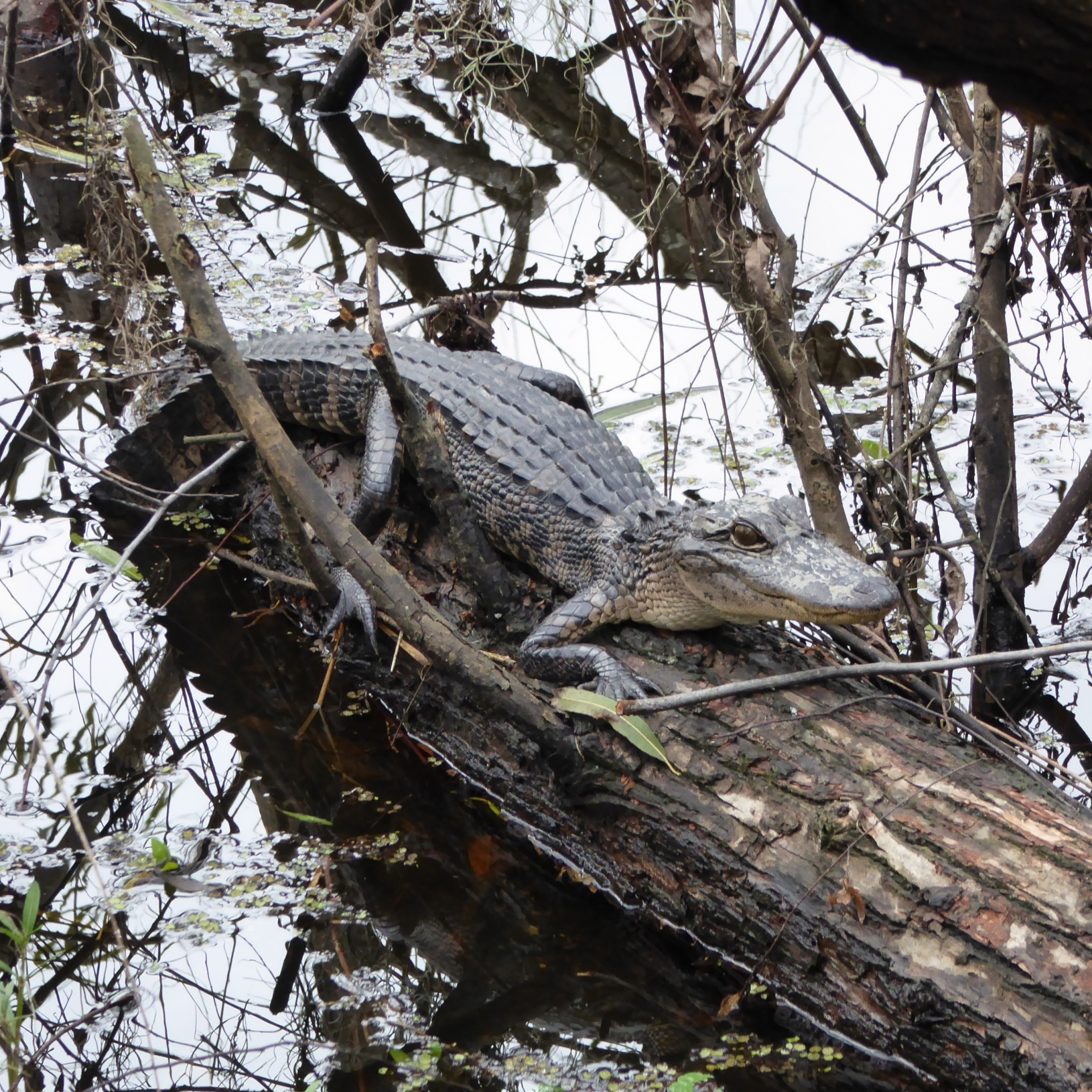 Aligator on log in swamp at the Barataria Preserve - part of the Jean Lafitte NHP