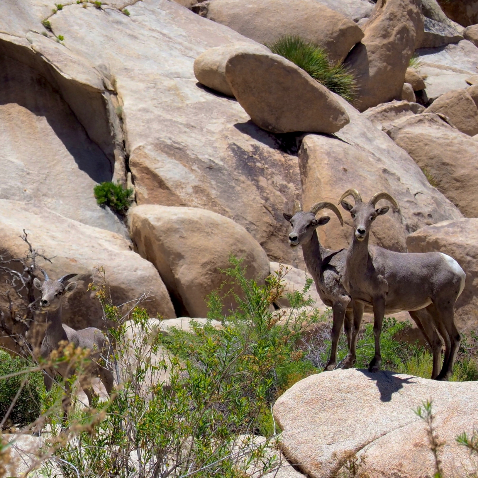 Joshua Tree National Park, June 12, 2017, Barker Dam Trail, Three Great Horn Sheep