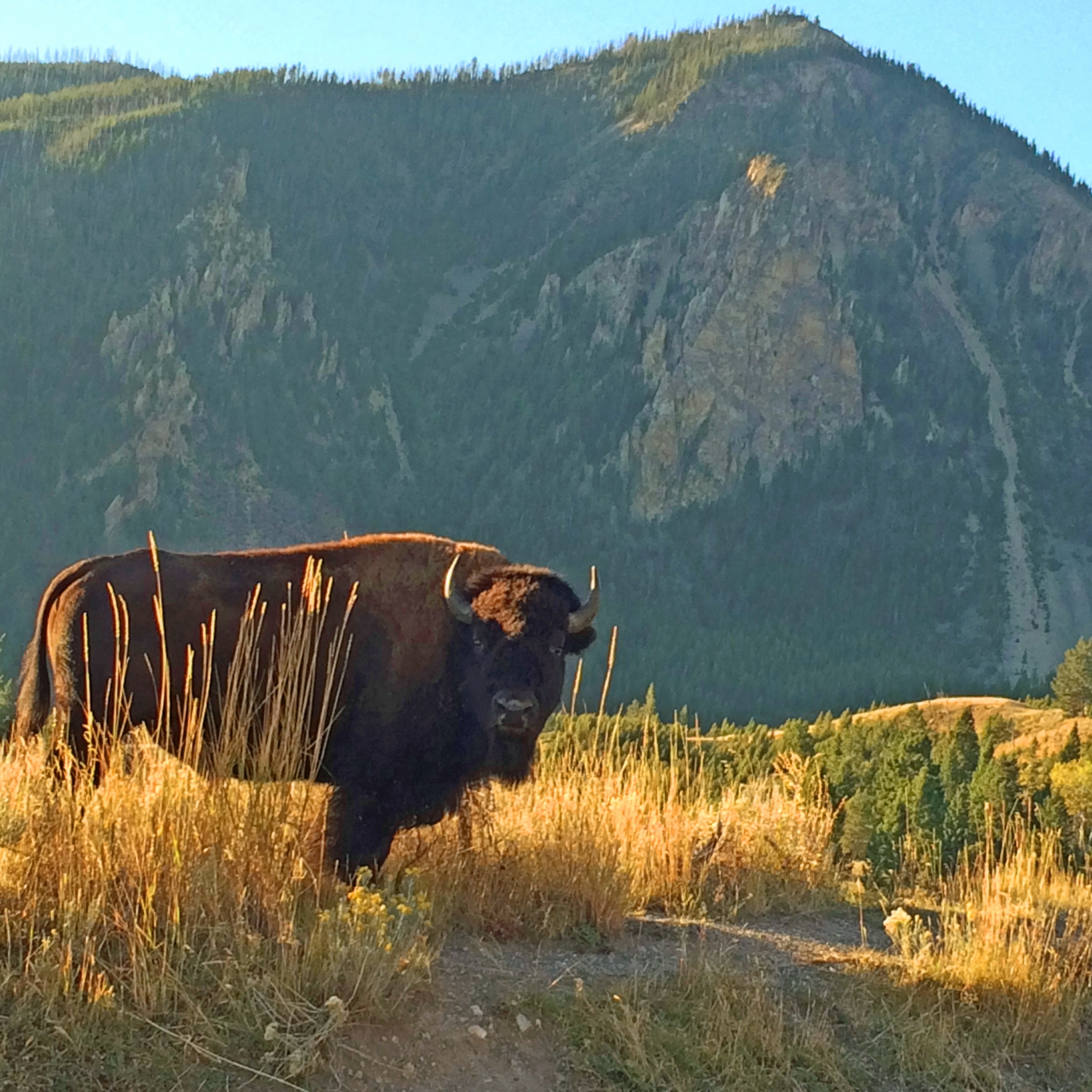 Yellowstone Bison Bull