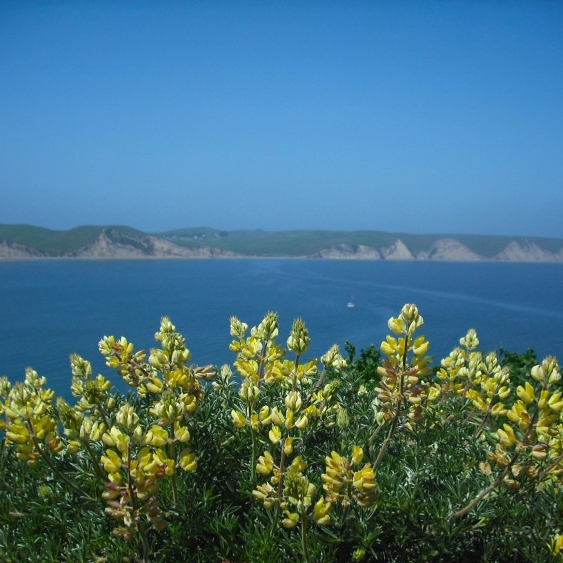 Yellow lupines over Drakes Bay