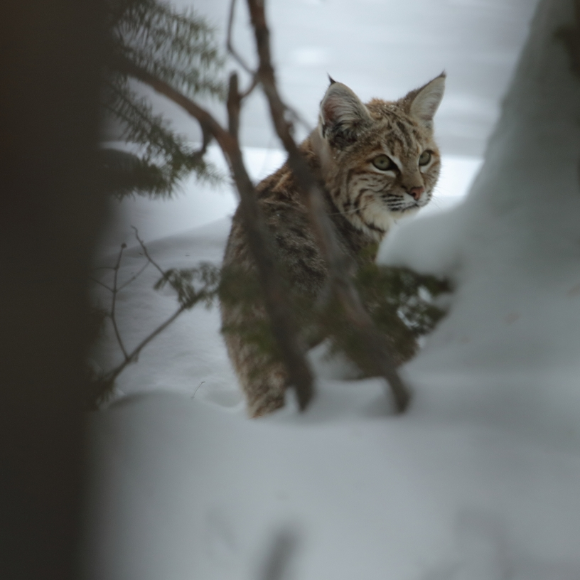 Bobcat in Yellowstone