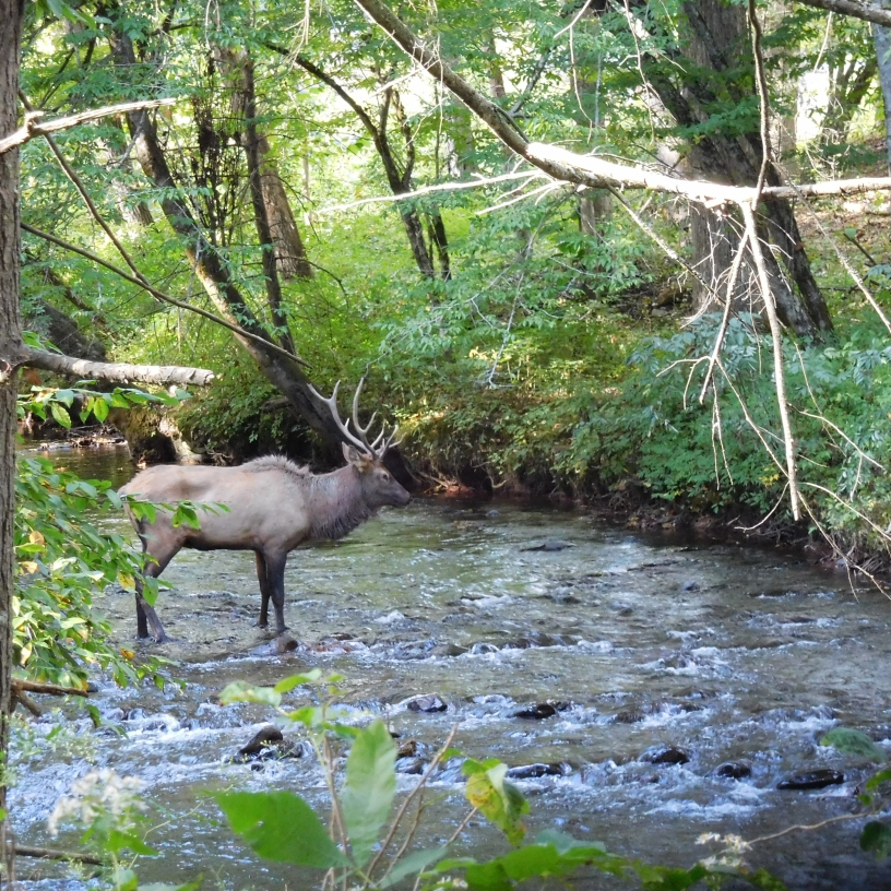 elk in creek  along the Oconaluftee Trail