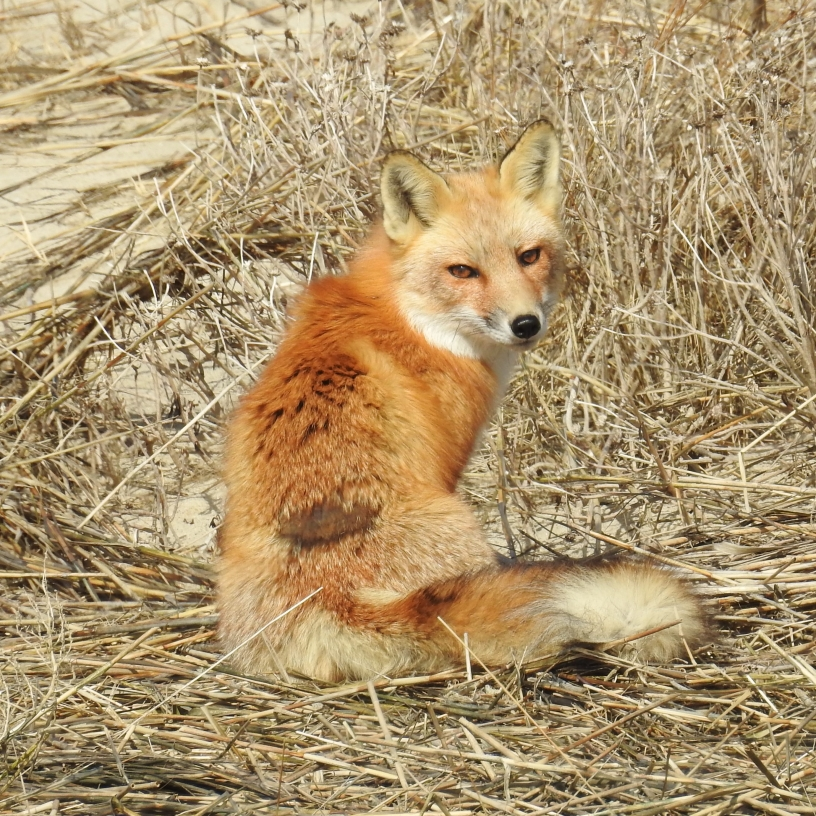 Red fox poses for a picture