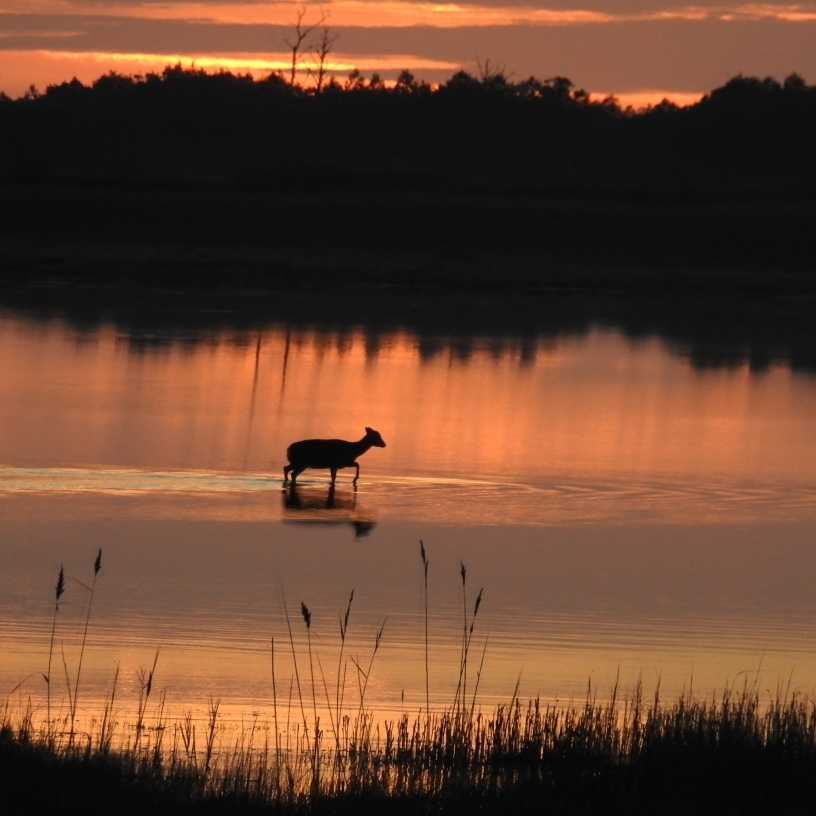 Deer crossing marsh during morning sunrise