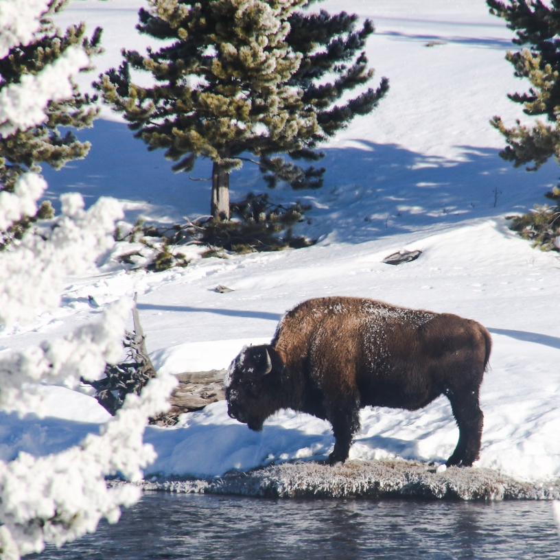 Bison, yellowstonenationalpark, snow, animals, wildlife, adventure, nature, outdoors, hike