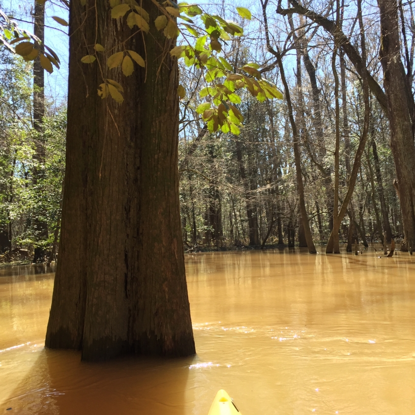 Paddling up to a swamp tupelo tree in the floodplain of Congaree National Park