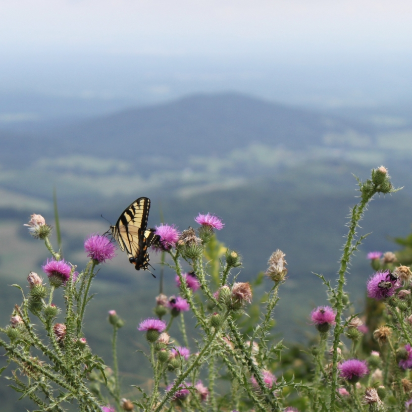Eastern Tiger & Black Swallowtail Butterflies along Skyline Drive.