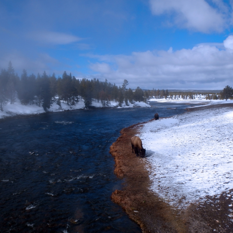 Bison grazing by the river in the steam of the hot spring.