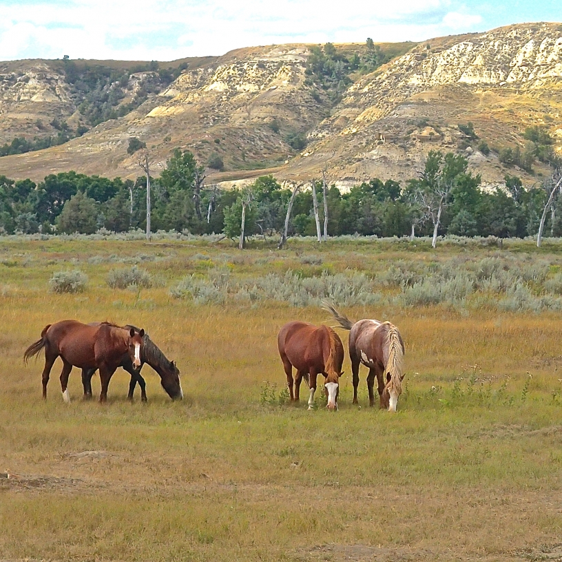 A stallion and mares grazing in a valley with the Badlands  Butts in the background .