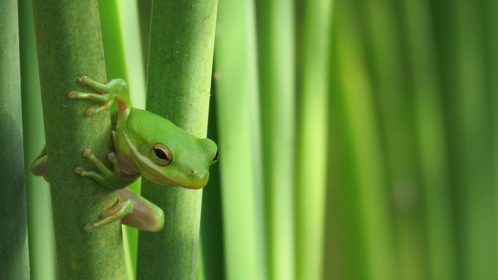 Close-up shot of a green frog on a green stem at Arkansas National Wildlife Refuge