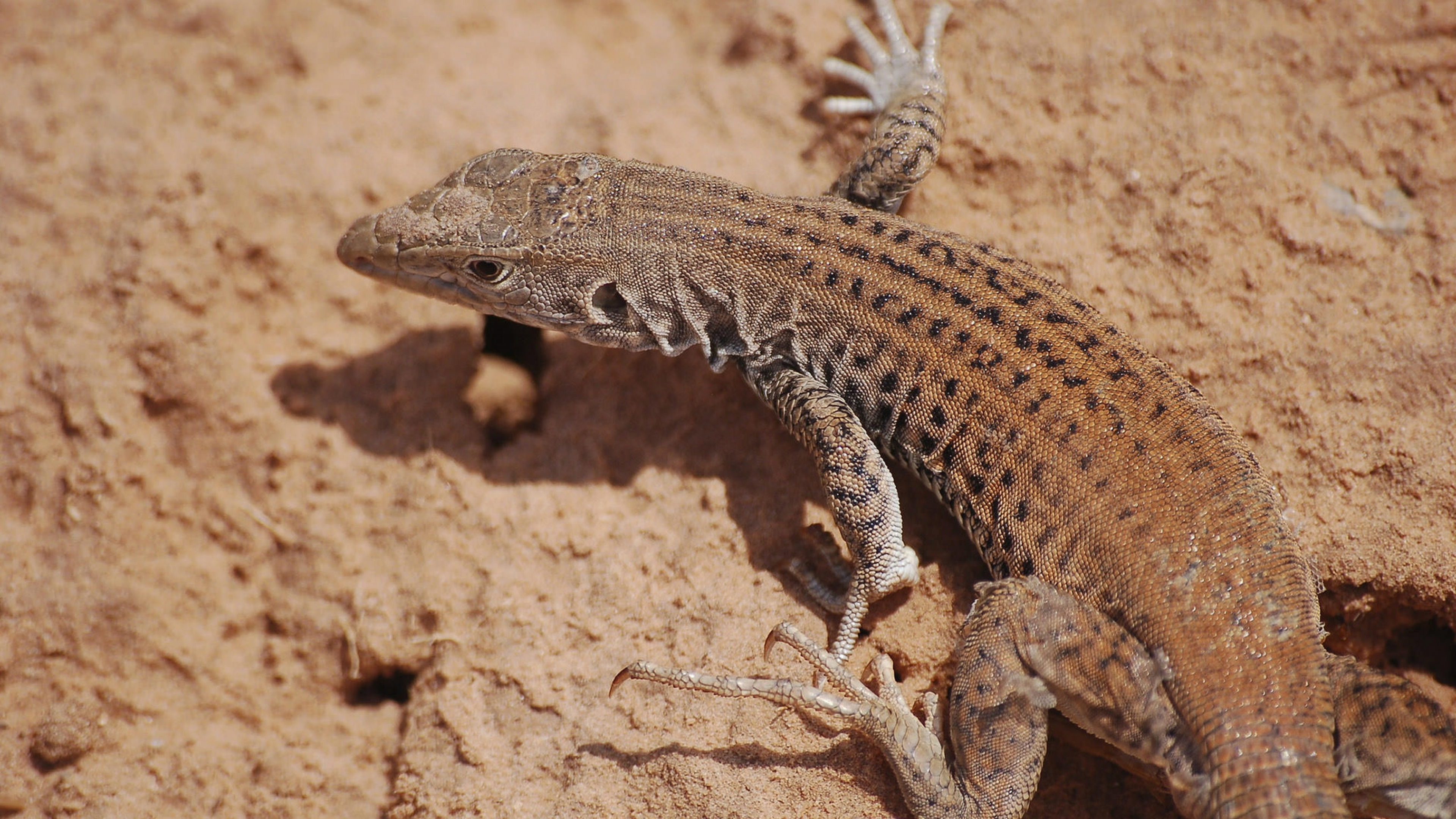 A leopard lizard spotted on the trail