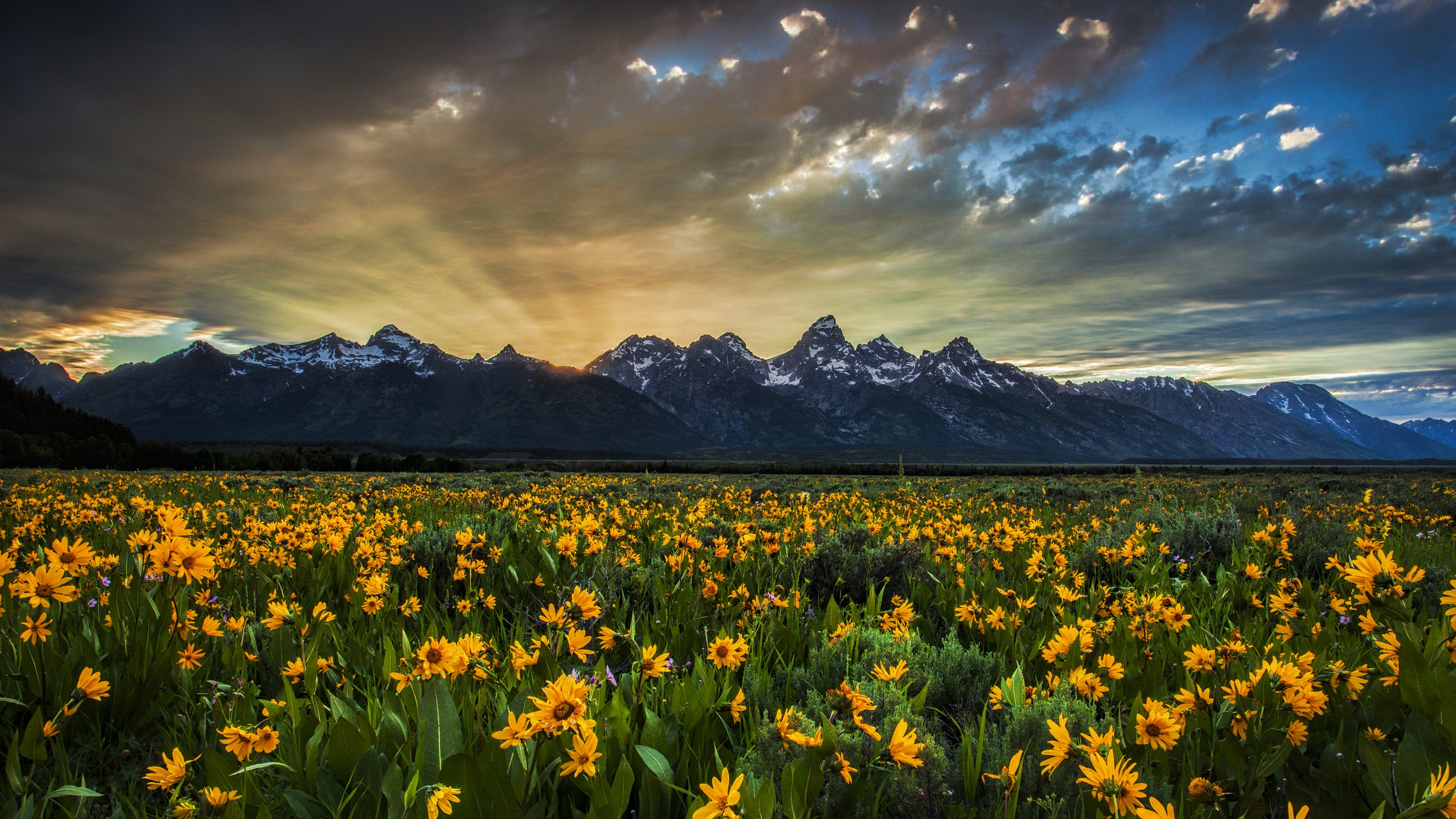 Field of yellow flowers with the sun setting behind snow-speckled mountains