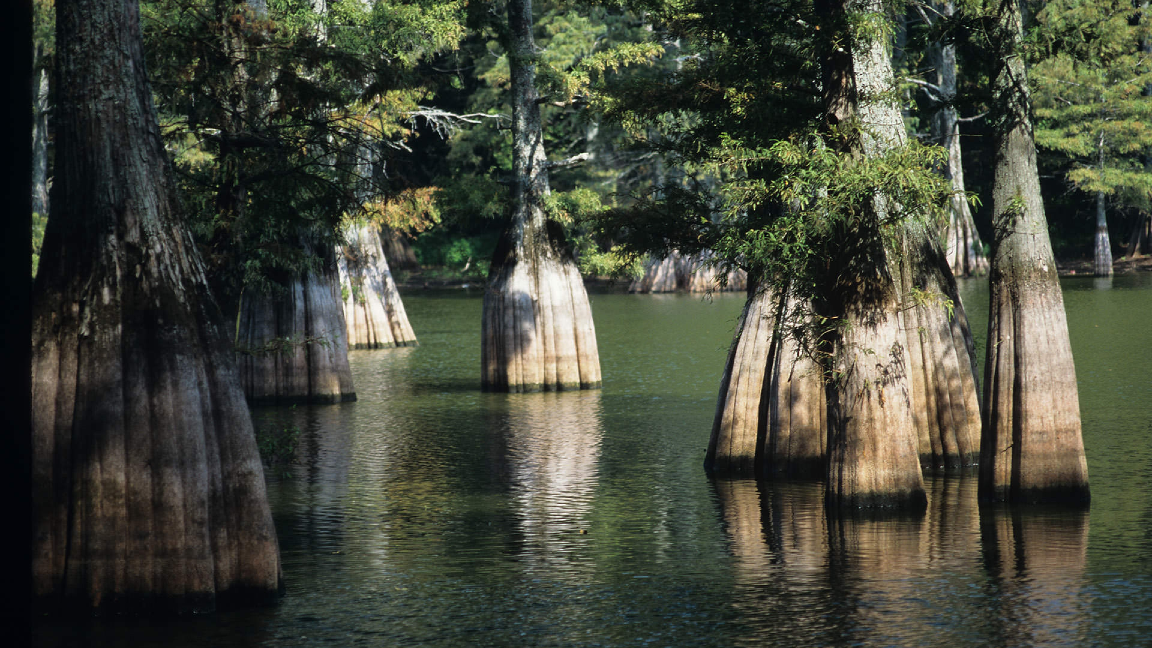 Grove of trees with submerged roots