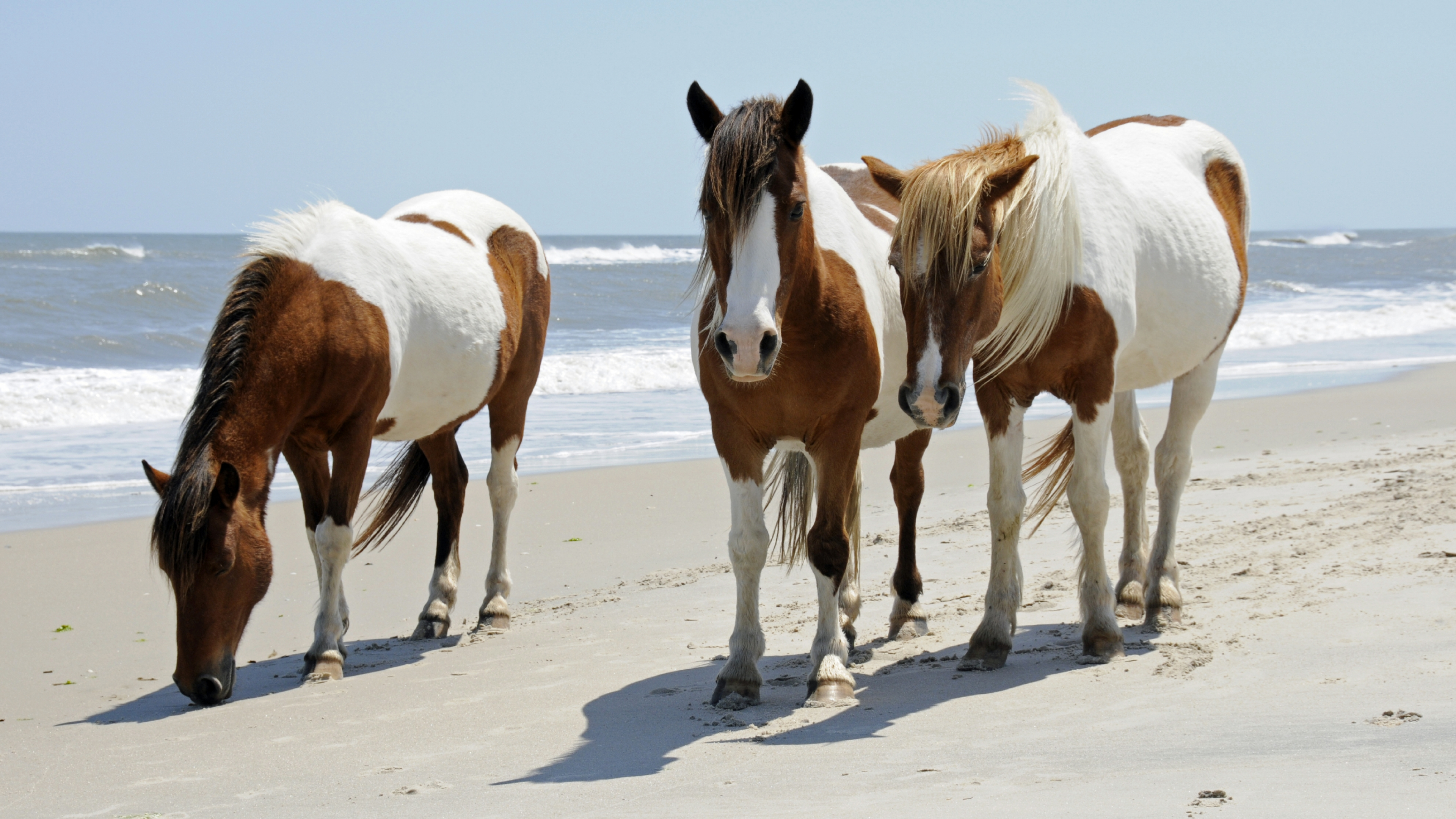 Three brown and white wild horses on the beach of Assateague Island