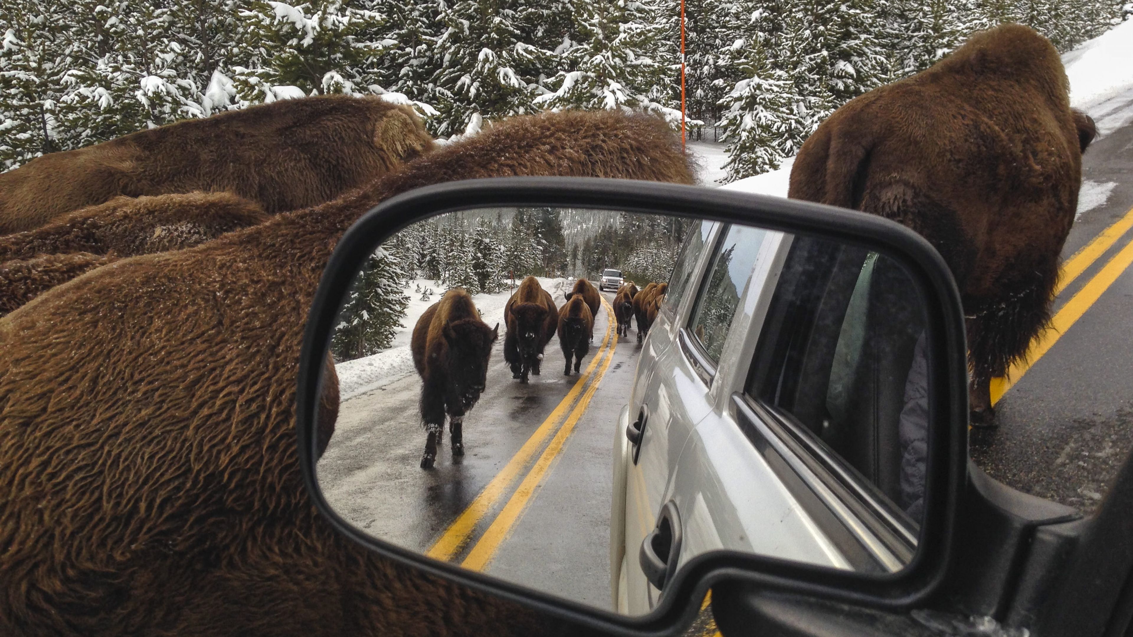 View of bison in snowy forest from a car in the rear view mirror