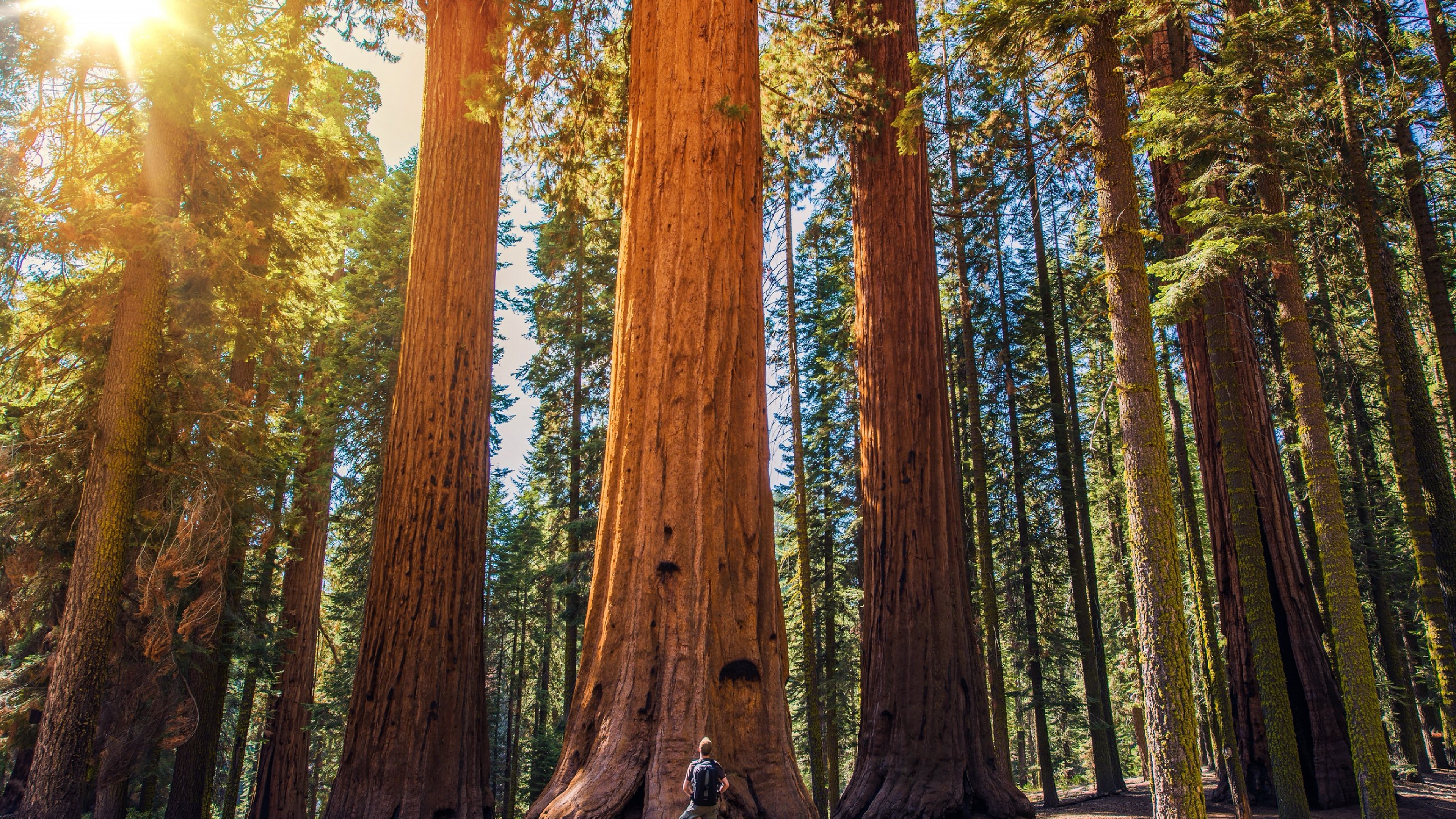 Man dwarfed by giant sequoia trees