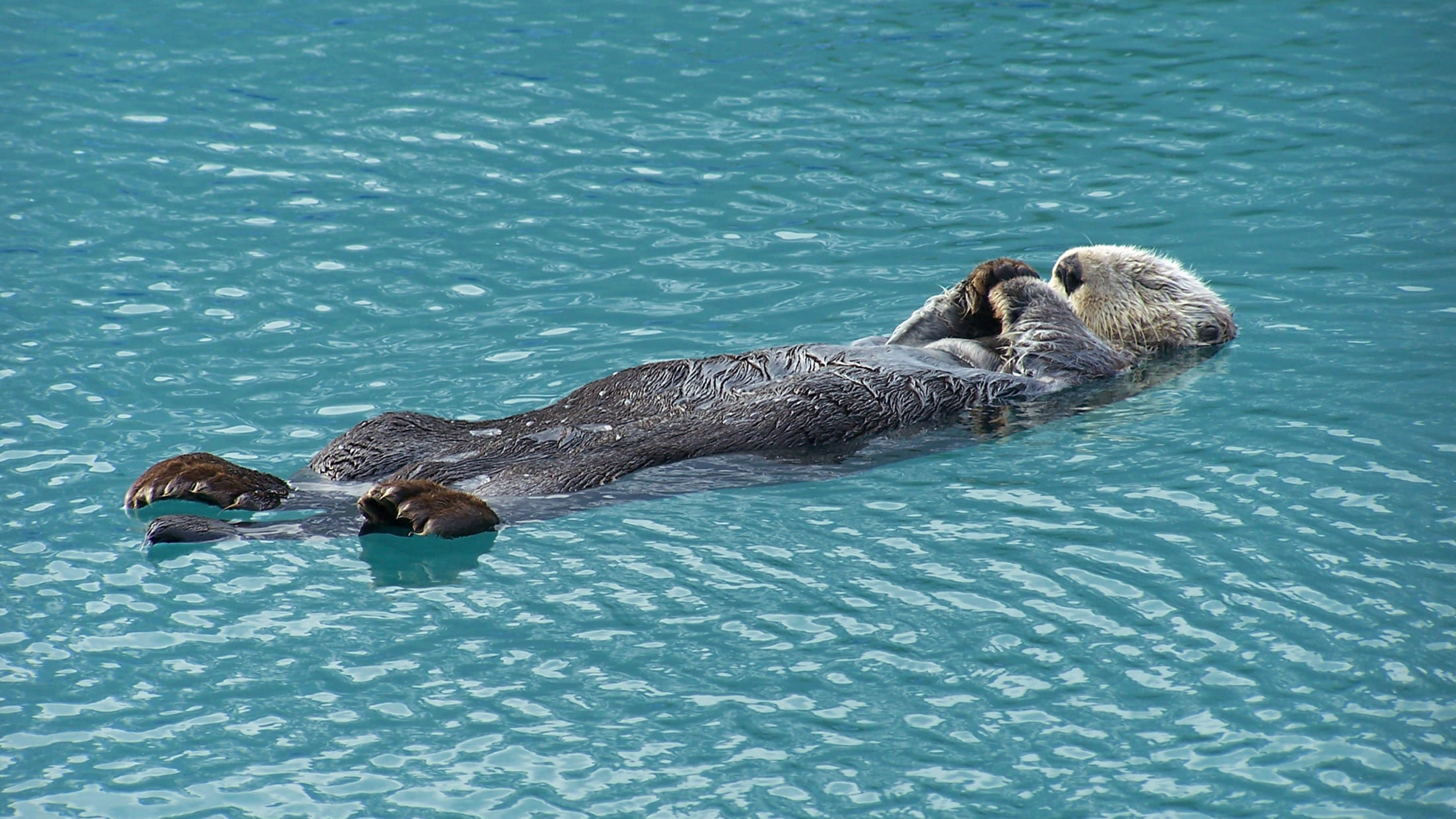 Sea otter in Alaskan arctic