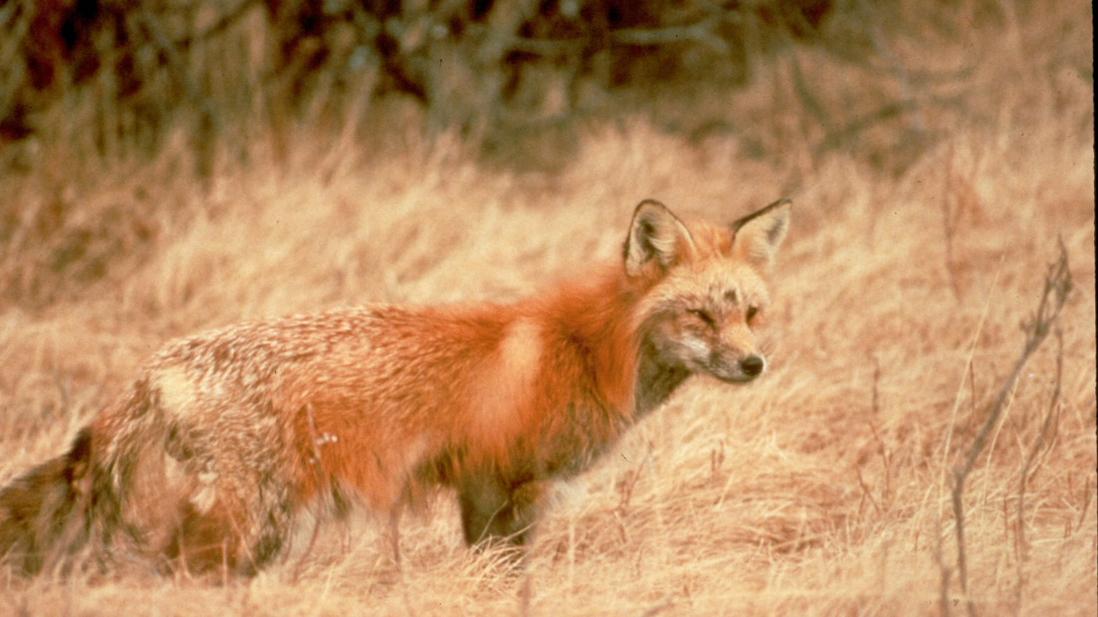 A fox in tall grass