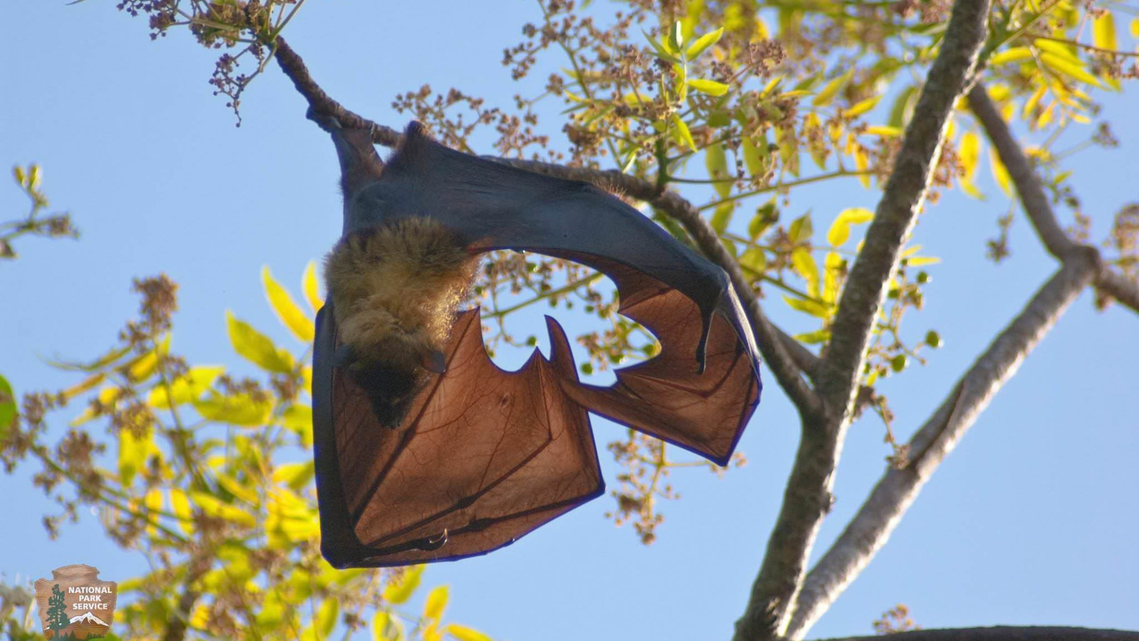 Hanging Samoan Fruit Bat in the sunlight at the National Park of the American Samoa