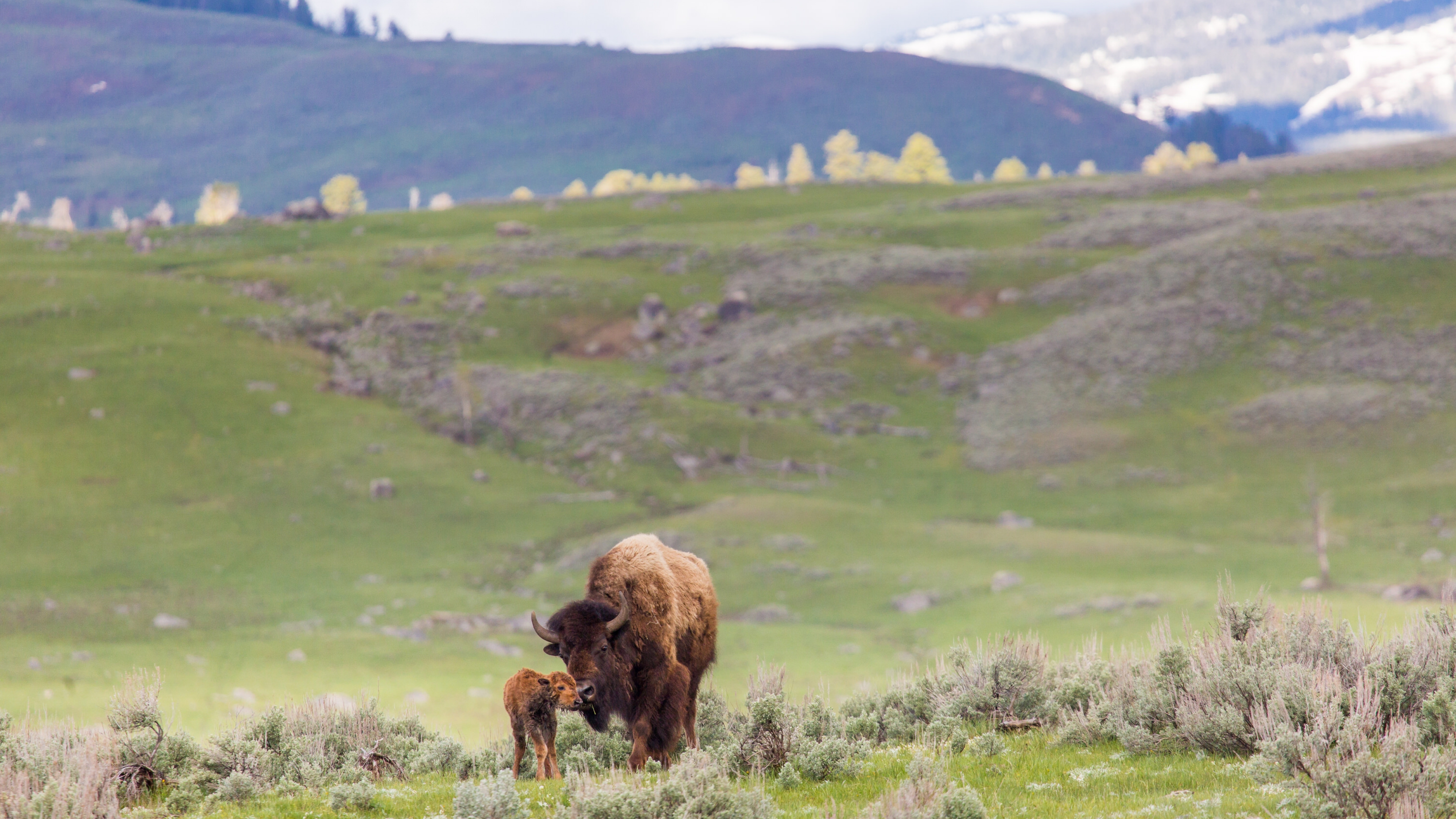 A newborn bison calf standing next to its mother at Yellowstone National Park